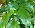 Cryptocarya latifolia, loof, Walter Sisulu NBT, a.jpg