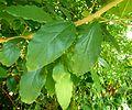 Cryptocarya latifolia, loof, Walter Sisulu NBT, b.jpg