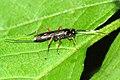 Cubocephalus.erythrinus.-.lindsey.jpg
