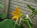 "Cucurbita pepo ""zapallo de Angola"" semillería La Paulita - flor masculina 5 - 8,30 hs totalmente abierta.JPG"