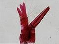 Culicidae (YPM IZ 098029).jpeg