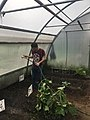 Cultivo del Pepino Cucumber 5.jpg