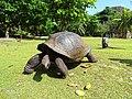 Curieuse Marine National Park Aldabra giant tortoise.JPG