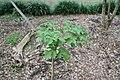 Cussonia spicata 6zz.jpg