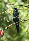 Cyanolyca pulchra -NW Ecuador-6