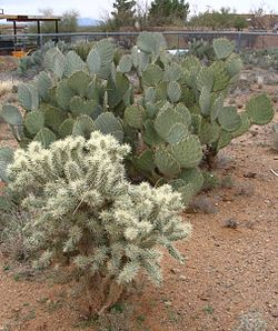 Cylindropuntia bigelovii (Teddy-bear Cholla) and Opunita (Prickly Pear).jpg