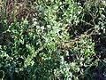 Cynanchum acutum Habitus 2010-7-06 LagunadelaMata.jpg