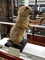 Cynomys ludovicianus - Pember Library and Museum - Granville, New York - 20180224 141441.jpg