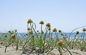 Graminoid - Image: Cyperus capitatus 01