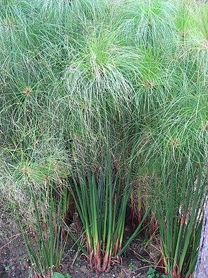 Echter Papyrus (Cyperus papyrus) – Habitus