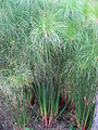 Cyperus papyrus 01 by Line1.JPG