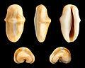 Cyphoma gibbosum 01.JPG