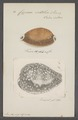 Cypraea vitellus - - Print - Iconographia Zoologica - Special Collections University of Amsterdam - UBAINV0274 088 02 0044.tif