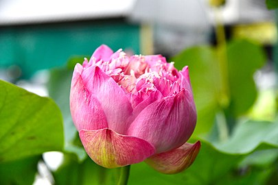 D85 1541 Nelumbo Lotus Photographed by Trisorn Triboon.jpg