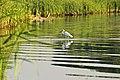 DSC7938 Біла чапля.jpg