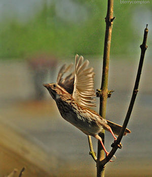 Sparrow Bird Commencing Flight