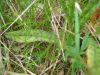 Dactylorhiza maculata blatt.jpeg