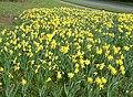 Daffodils in Merley - geograph.org.uk - 1271787.jpg