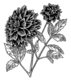 Dahlia (PSF).png