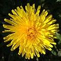 Dandelion - Flickr - Stiller Beobachter (1).jpg