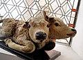 Darłowo muzeum dwugłowy cielak.jpg
