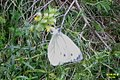 Dark-veined white, Heiterwanger See (15615475978).jpg
