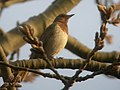 Dark Throated Thrush in Temple of Heaven.JPG