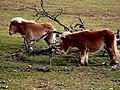 Dartmoor Ponies2.jpg