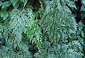 Davallia griffithiana kz1.jpg