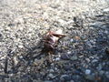Dead grasshopper 3.jpg