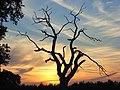 Dead tree, Shottesbrooke Park - geograph.org.uk - 524888.jpg
