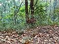 Deer jim corbett park.jpg