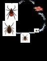 Deer tick life cycle -3.png