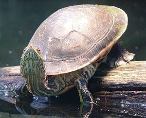 Chicken turtle - Chicken turtle basking