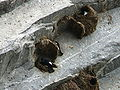 Delichon nipalense -Bhutan -nests-8.jpg