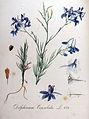 Delphinium consolida — Flora Batava — Volume v9.jpg