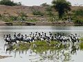 Demoiselle Crane Anthropoides virgo Rajasthan India.jpg