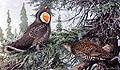 Dendragapus obscurusGBP15CA.jpg