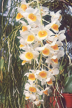 meaning of dendrobium