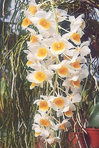 Dendrobium - Image: Dendrobium densiflorum x fa