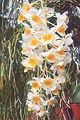 Dendrobium-densiflorum-x-fa.jpg