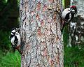 Dendrocopos major -Finland -female and juvenile on tree-8.jpg