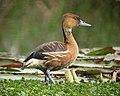 Dendrocygna bicolor Iguasa María Fulvous Whistling-Duck (11874871373).jpg