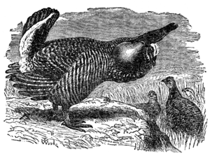 Greater prairie chicken - Tetrao cupido drawn by T. W. Wood for second edition of Darwin's The Descent of Man, 1874