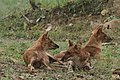 Dhole or Wild dog (76).jpg