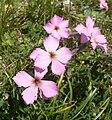 Dianthus sylvestris 030710.jpg