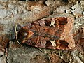 Diarsia brunnea - Purple clay - Земляная совка черничная (40186982005).jpg