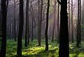 Dicrano-Pinion, Pinus sylvestris 01.jpg