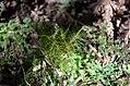 Dicranoloma menziesii - Dicranaceae.JPG