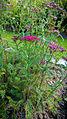 Die Schafgarbe, lat. Achillea millefolium, 'Cerise Queen' 01.jpg
